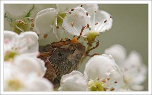 hanneton_fleurs_blanches__080510