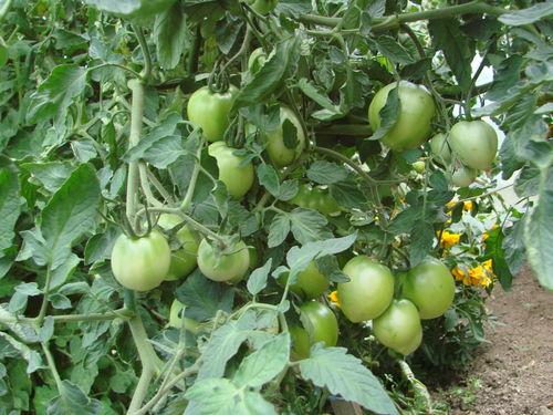2008 08 08 Mes tomates big stricke hybride F1 sous serre