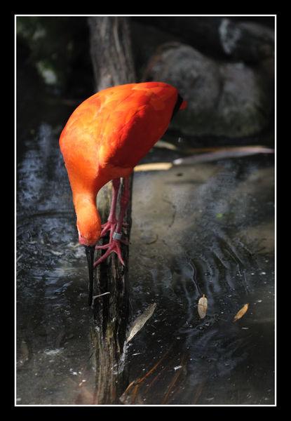 ibis_5