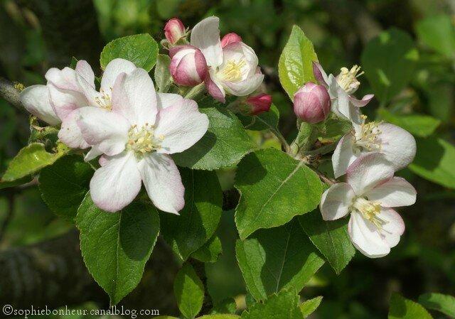jardin pommier