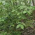 Fusain à larges feuilles