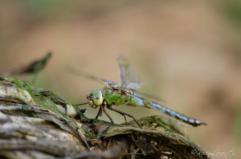 Anax imperator femelle androgyne (3)
