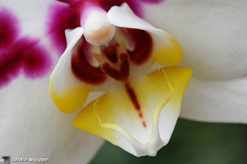Orchidée-309