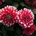 2009 09 05 Deux fleurs de dahlias