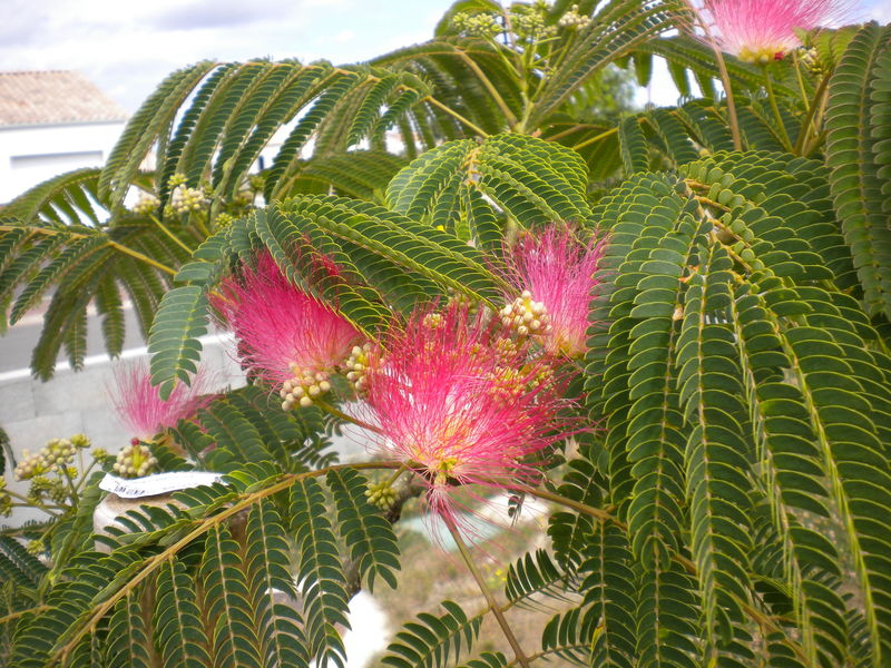 Mon jardin japonais : premières fleurs pour mon bébé albizia ...
