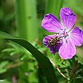 Les abeilles ne sont pas les seuls insectes pollinisateurs