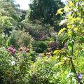 Les rosiers lianes grimpent jusque dans les arbres voisins