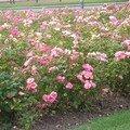Quelques roses au bout de l'avenue Foch