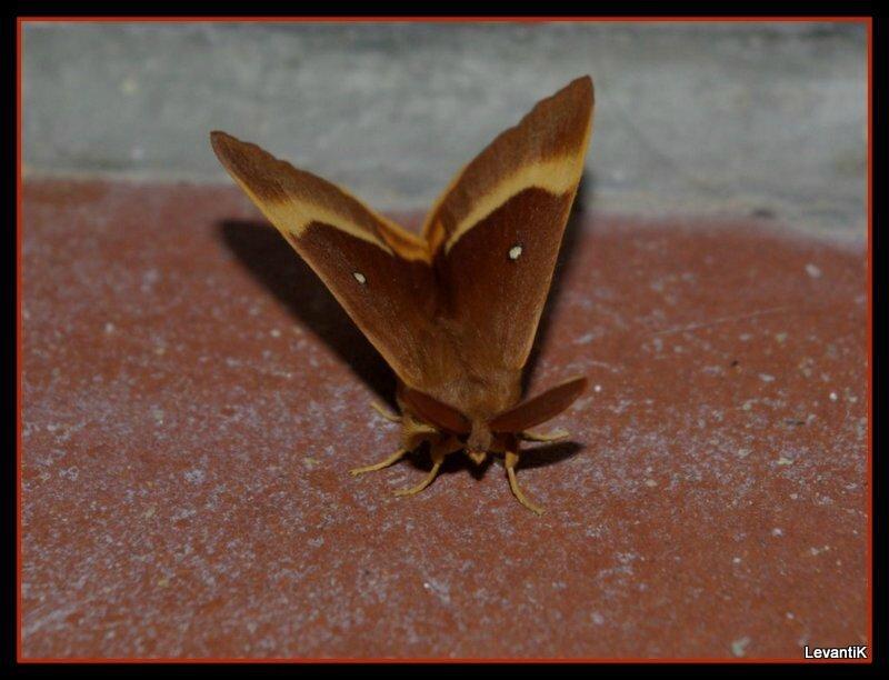 Le Bombyx du chêne - Lasiocampa quercus