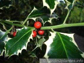 houx-aquifolium-aureomarginata