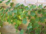 1_vigne_jardin