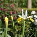 Iris hollandica jaune