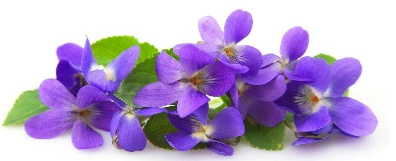 violette4 (1)