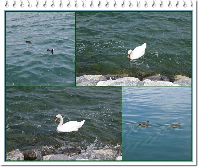 02 les canards et les cygnes