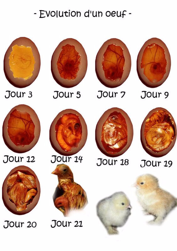 evolution poussin