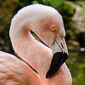 Flamant rose,