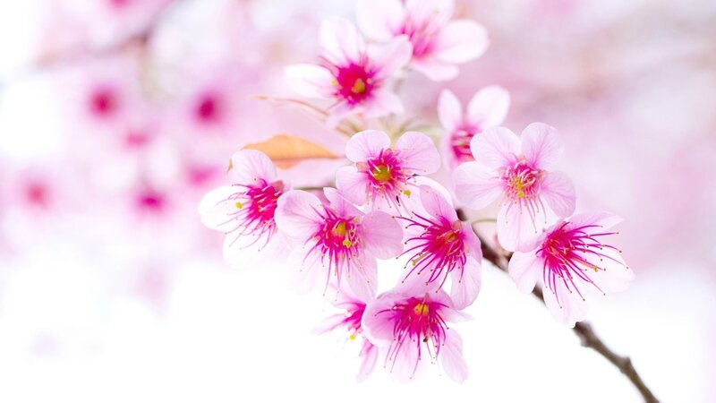 Spring-cherry-blossoms-pink-flowers-close-up_2560x1440