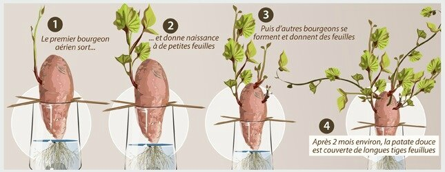 307831-faire-pousser-patate-douce-3-3-panorama-13450541