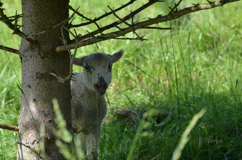 Mouton (Ovis)