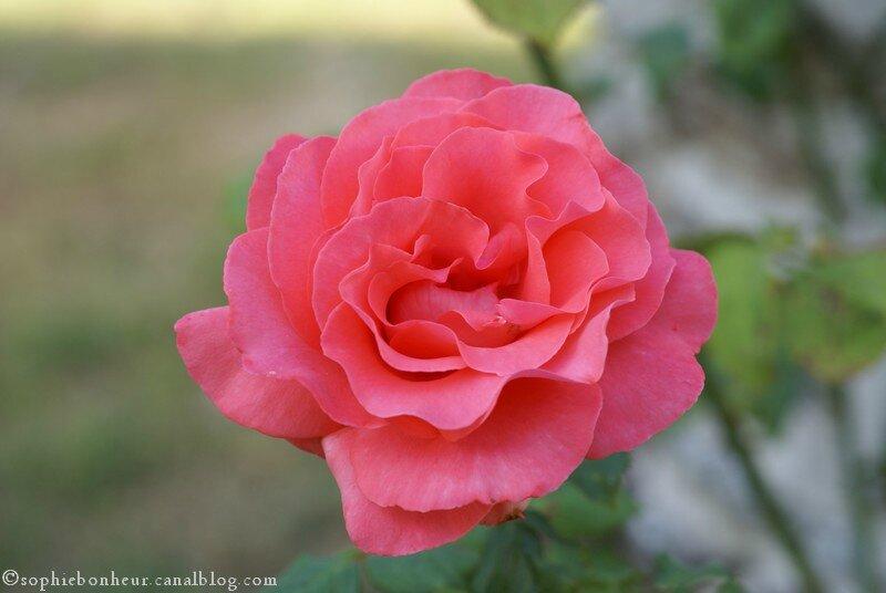 rose du puits