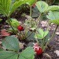 fraises de mai