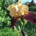 Les iris .... hier.