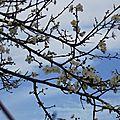 Fleurs de Prunier 130216