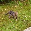 La Pitiotte : chatte sauvage que l'on nourrit