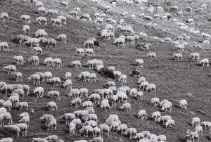 moutons_pelvoux_france_1073229801_1134060