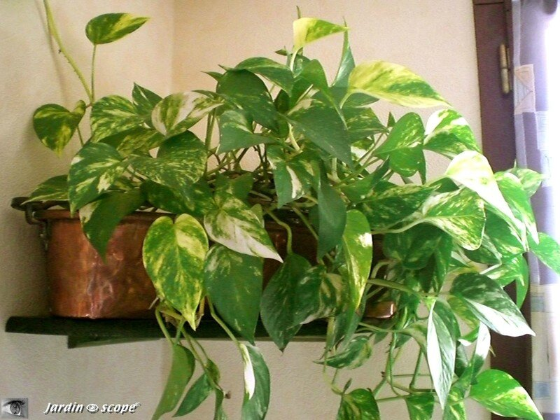 Le pothos une plante d 39 int rieur facile vivre le for Plante appartement