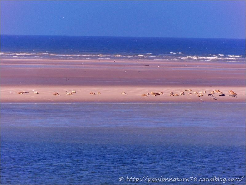 Phoques baie de Somme (20)