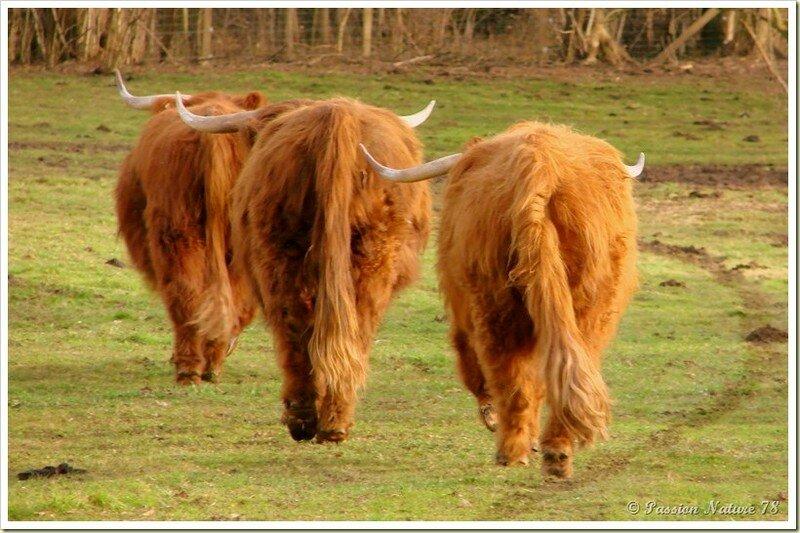 La vache de race Highland (21)