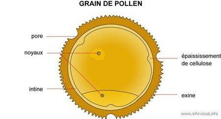 Grain_de_pollen