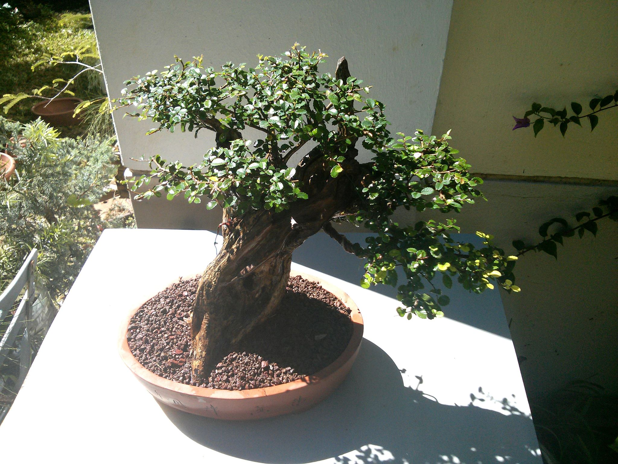 Tanuki orme de chine mes bonsa s la r union - Orme de chine bonsai ...