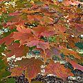 Acer 'Saccharum Marsh • Famille des Aceraceae