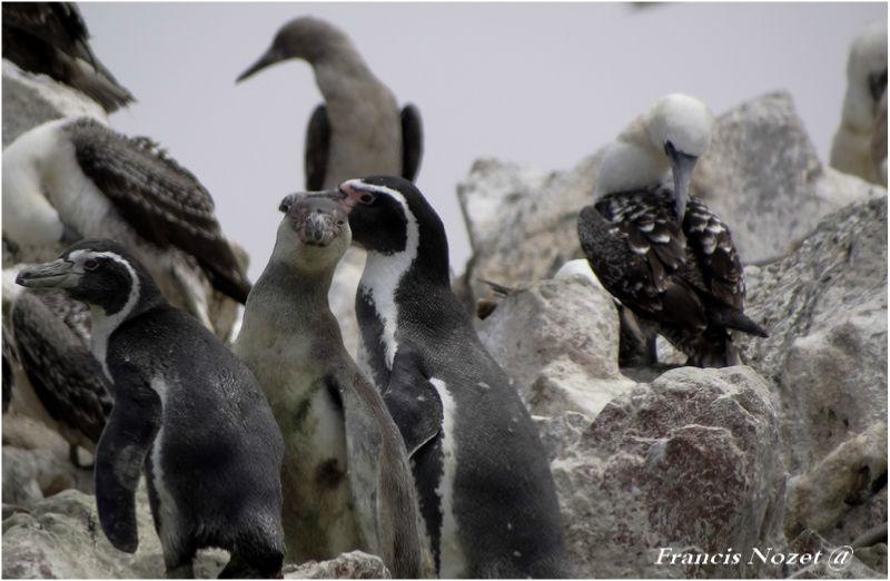 g_Pingouin 1