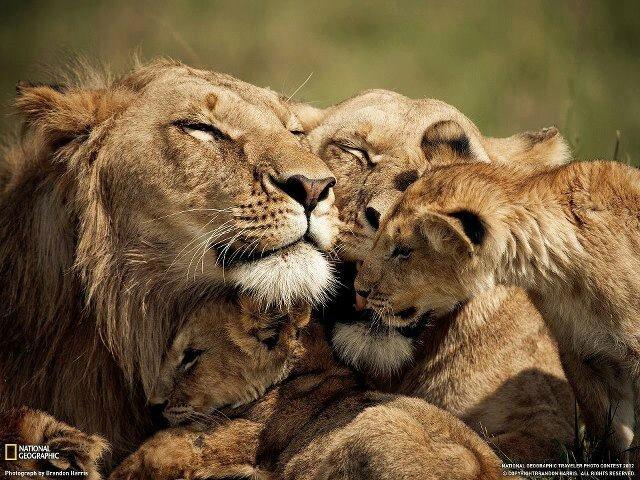 lion lionceaux 212
