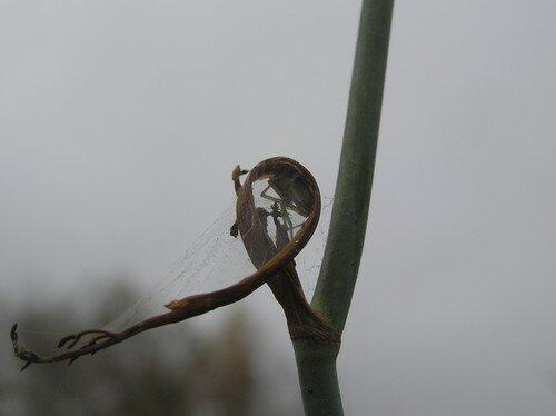 araignée foetus2