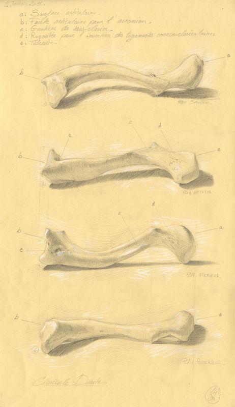 clavicule 06