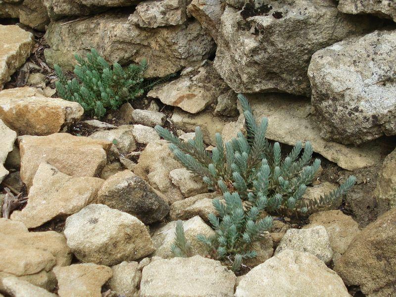 Les succulentes coeur tout vert for Chaine de coeur plante entretien