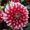2009 09 21 Une fleur de dalhias rouge et blanc