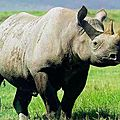 La journée internationale des rhinocéros célébrée aujourd'hui