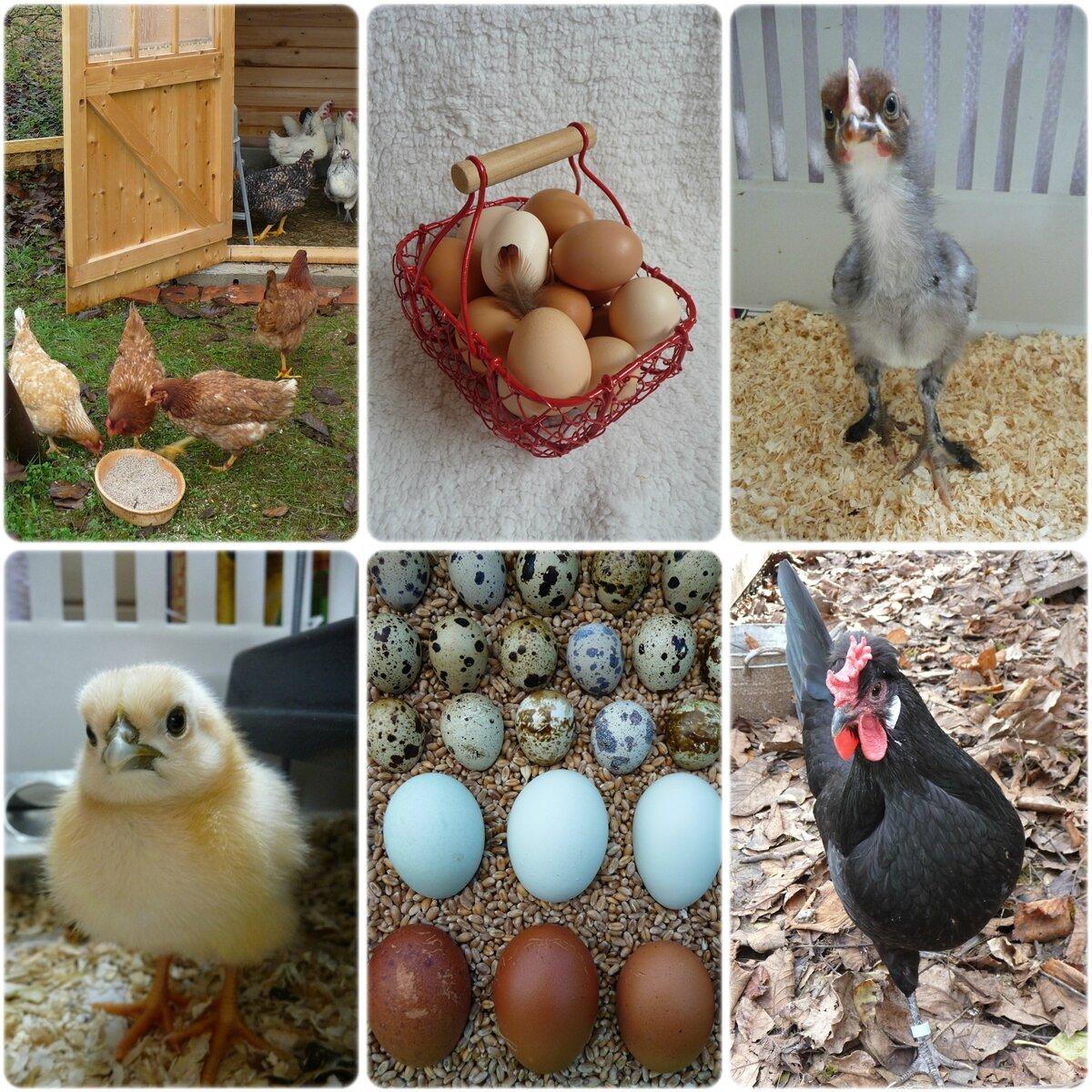 Poules pondeuses noires trouvez le meilleur prix sur voir avant d 39 acheter - Ou acheter des poules pondeuses ...