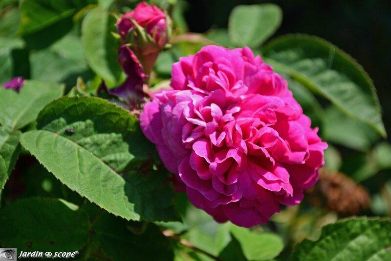 Rose-de-Recht