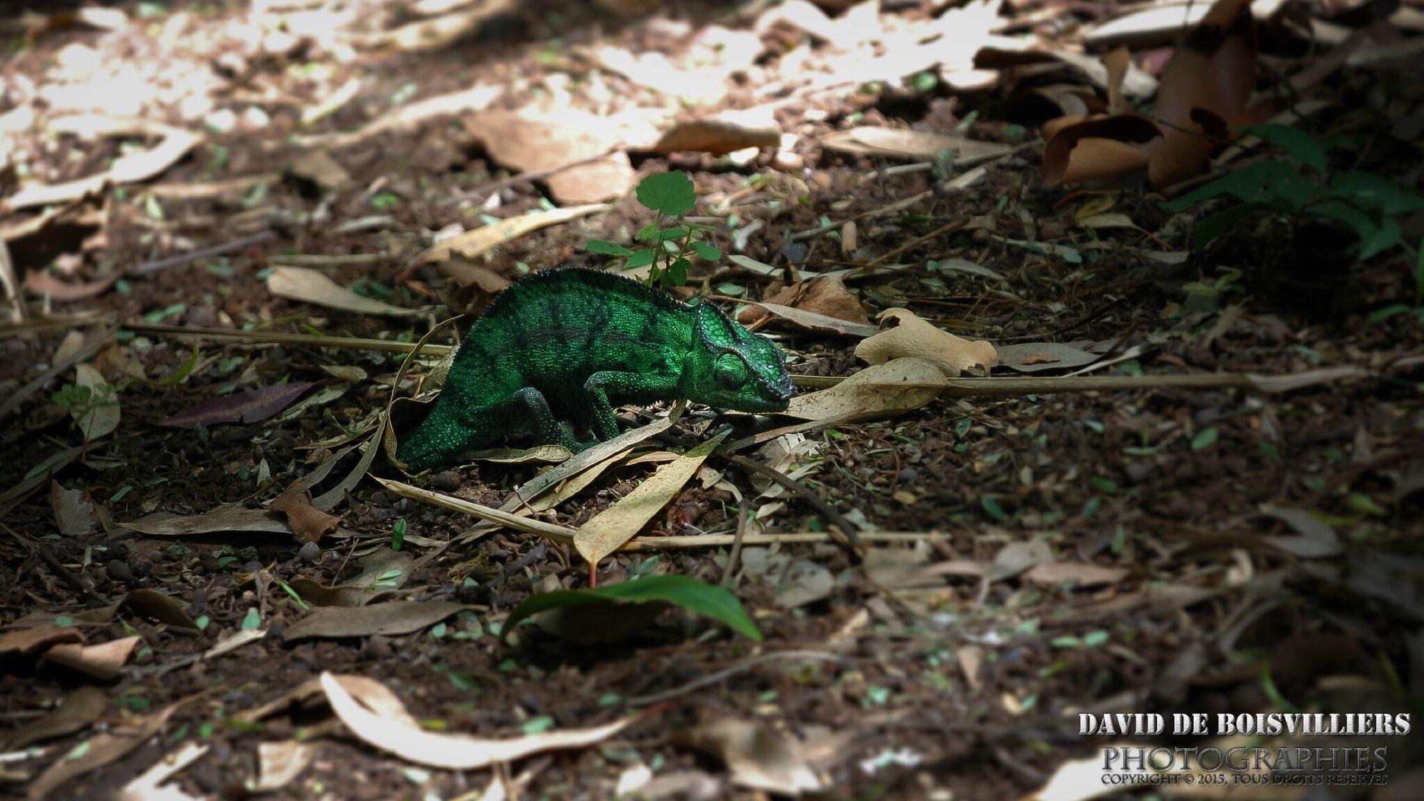 Les Reptiles de l'Île de La Réunion
