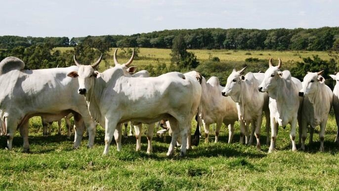 fiches_Bresil_2_Nelore_cows_2_main_beef_breed