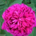 Rosier buisson 'Rose de Resht'