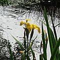 Iris aquatiques 2804163