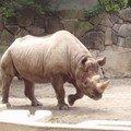 Tokyo rhinocéros