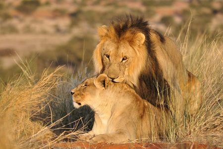 Lion et lionne en accouplement, désert du Kalahari, Namibie